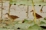 White-browed Crake - couple -- sp 149