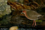 Ruddy-breasted Crake -- sp 5