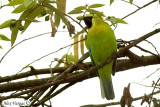 Blue-winged Leafbird -- sp 49