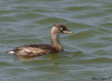 Little Grebe -- sp 143
