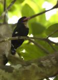 Dusky Broadbill -- sp 19
