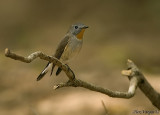 Taiga Flycatcher -- 2008 - breeding plumage