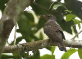 Indian Cuckoo -- sp 121
