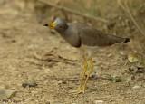 Grey-headed Lapwing -- sp 147