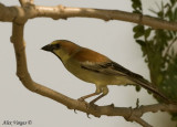 Plain-backed Sparrow -- sp 51