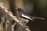 Oriental Magpie-Robin - female