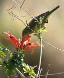 Orange-crowned Warbler South Padre Island WBC