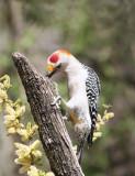 Golden-fronted Woodpecker Salineno