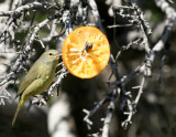 Orange-crowned Warbler Estero Llano Grande SP