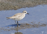 Black-bellied Plover South Padre Island BC