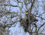 Great-horned Owl Anzalduas