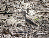 Long-billed Curlew South Padre Island BC