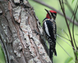 Yellow-bellied Sapsucker (Paradise Pond)