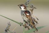 Pipit & Sparrows