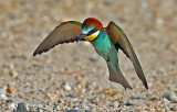 Bee-eaters & Rollers