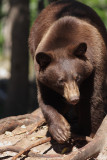 Oswald's Bears