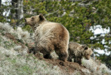 Grizzly with yearling cub