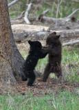 Wrestling cubs