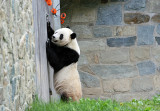 Pandas National Zoo