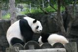Lun Lun waking up Mei lan