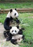 Lun Lun & Mei Lan