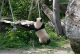 Fu Long want to swing