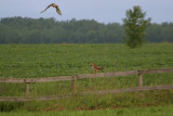 BUSE � QUEUE ROUSSE / RED TAILDED HAWK