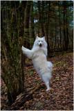 Samoyed Squirrel Chaser