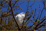 Snowy Egret at Indian Shores  Florida