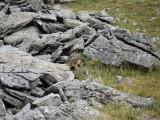 una marmota!!!!!!!!!! està gordota ja esperant l'hivern!