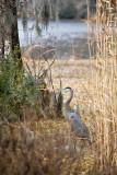 GB Heron at Greenfield Lake