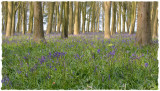 Late afternoon in the bluebells