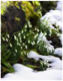 Snowdrops, Cherington, Gloucs.