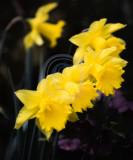 Daffodil formation(1)