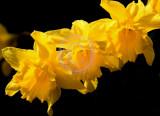 Daffodil formation(2)