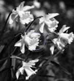 Daffodil formation(3)