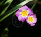 Primroses(2)