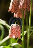 Fritillaria Meleagris(Snakeshead Fritillary)(1)