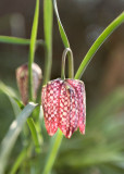 Snake's Head Fritilliary