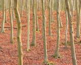 Beech saplings...