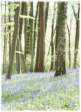 Bluebell wood, Randwick, Gloucs(2)