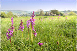 Early-Purple orchids, Burleigh, Gloucs.