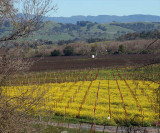 Mustard field and rolling hills behind Hop Kiln winery