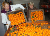 Kimberly Reese and Glennda Morse unload a couple of crates of mandarins onto the cleaning and sorting station