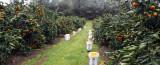 Morse Farms five acres of Satsuma Owari mandarin trees