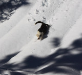 Dog from Paradise scrambles down deep-snow-covered hill