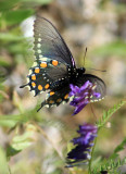 Butterfly flutters over a silver bush lupine
