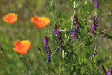 Poppies and silver bush lupines mingle