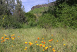 Poppies in the canyon