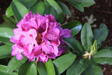 Donna's rhodendron